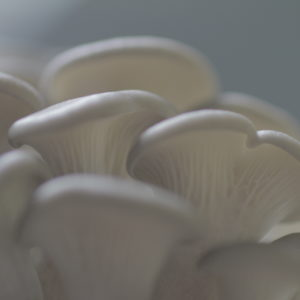Mycelium de pleurote gris ( Pleurotus ostreatus )