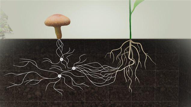 Les champignons au service de l'agriculture; la révolution des mycorhizes