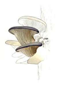 Les mode d'emploi : mycélium de pleurote