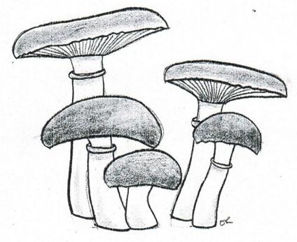 Dessin de strophaire (King stropharia)